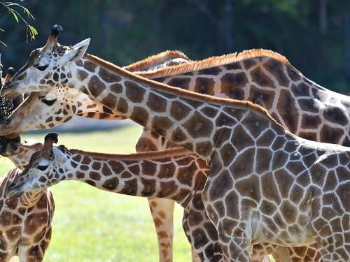 Der internationale Handel mit Fleisch, Leder und Jagdtrophäen oder die Verschiffung von Giraffen an Zoos und Zirkusse soll künftig nur noch möglich sein, wenn das Exportland nachweist, dass die Bestände dadurch nicht weiter gefährdet werden. (Bild: KEYSTONE/EPA AAP/DARREN ENGLAND)