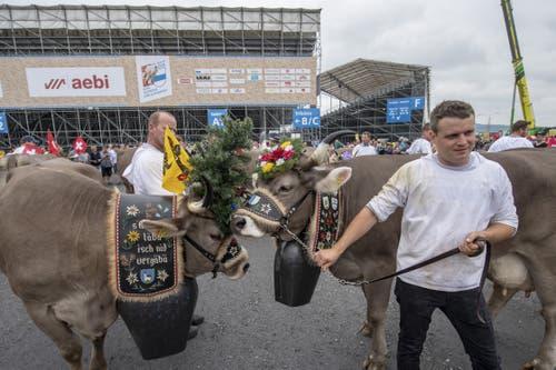 Eine Kuhherde beim Festumzug vor der Schwingerarena. (Bild: KEYSTONE/Urs Flüeler, 23. August 2019)