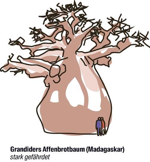 Vorschlag der Schweiz: der Artenschutz soll klarer definiert werden.Auf Antrag der Schweiz sollen die Schutzbedingungen für den Handel mit dem seltsamen Baum eindeutiger formuliert werden. Noch gibt es etwa 1 Million Exemplare, wegen Gebietszerstörung ist der Trend aber abnehmend.