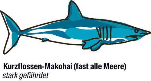 Vorschlag von Mexiko, Bangladesch, EU und 26 weiteren Staaten: der Artenschutz soll strenger werden.Der Kurzflossen-Makohai lebt in fast allen Weltmeeren, er ist aber überall selten. Meeresforscher berichten, dass es immer weniger erwachsene Tiere gibt.