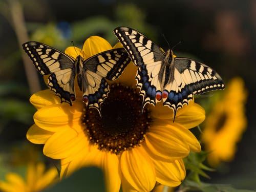 «Heute sind bei mir nochmals ein Schmetterlings-Bube sowie ein Schmetterlings-Mädchen geschlüpft und losgeflogen. Übrigens, bei den Schmetterlingen sind die Buben die Kleinen und die Mädchen die Grossen.» (Bild: Priska Ziswiler-Heller, Ettiswil, 21. August 2019)