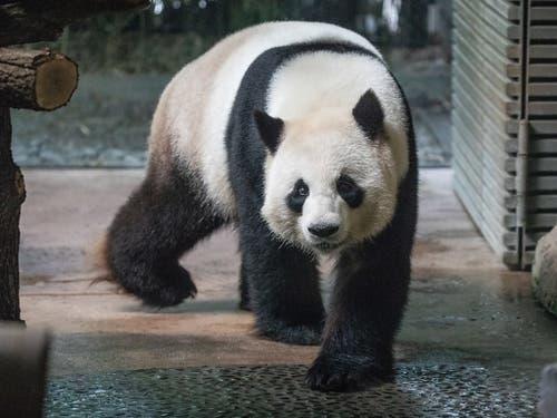 Vater des erwarteten Pandanachwuchses Im Berliner Zoo ist Jiao Qing. (Bild: KEYSTONE/EPA/OMER MESSINGER)