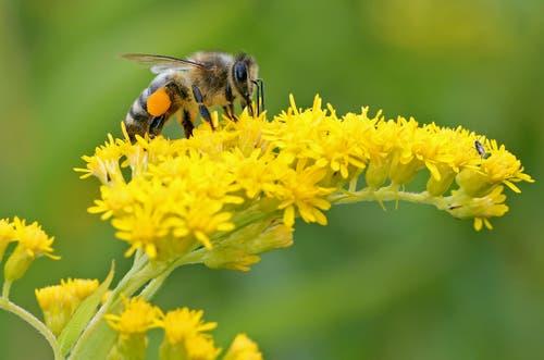 Eine Arbeiterbiene in Aktion. (Bild: Bruno Schuler, Buochs, 6. August 2019)