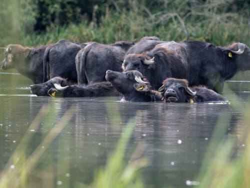 Büffelmozzarella aus dem Aargau: Familie Villiger hält in Sins eine Herde von Wasserbüffeln. (Bild: KEYSTONE/URS FLUEELER)