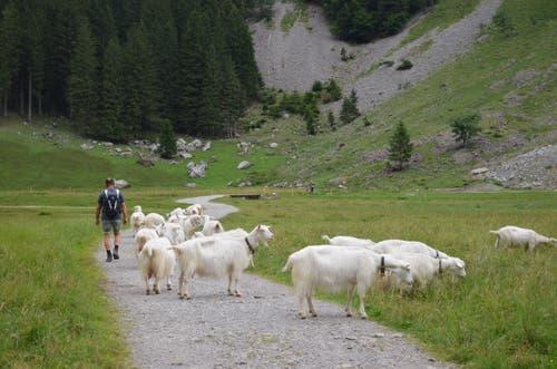 Am entgegen gelegenen Seeufer läuft man grasenden Schafen über den Weg.