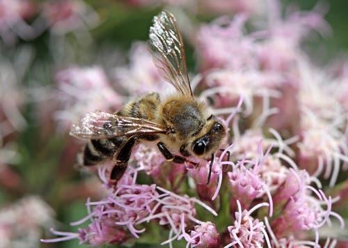 Täglich tausend Blüten besuchen: Das ist die Aufgabe einer Arbeiterbiene. (Bild: Bruno Schuler, Buochs, 9. August 2019)