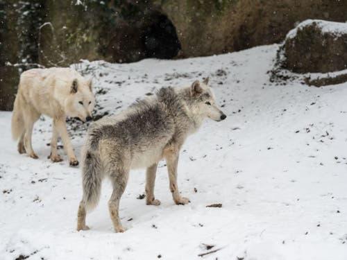 Die Basler Wölfe waren auch im Winter draussen. (Bild: Keystone/Zoo Basel (Torben Weber))