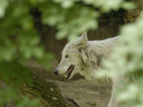 Blick durch die Büsche ins Basler Wolfsgehege. (Bild: Zoo Basel)