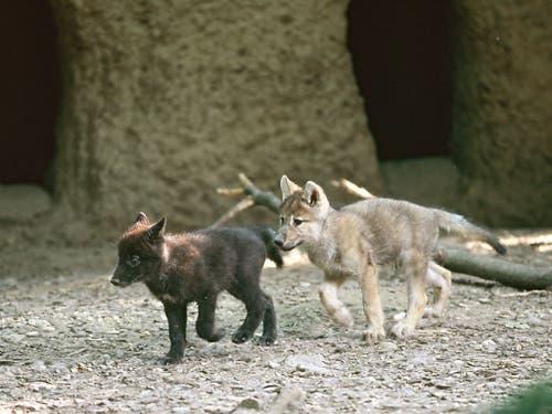 2005 purzelten die jungen Wölfe durch ihr neues Zuhause. (Bild: Zoo Basel)