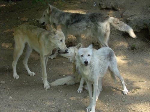 Ein Bild aus früheren Wolfsrudel-Zeiten: 2009 streunte ein Quartett durchs Basler Zoo-Gehege vor die Linse. (Bild: Zoo Basel)
