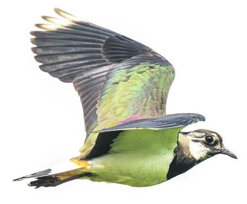 Stark gefährdet: der KiebitzDen gelb gefiederten Vogel sah man früher häufiger. Bild: Getty Images