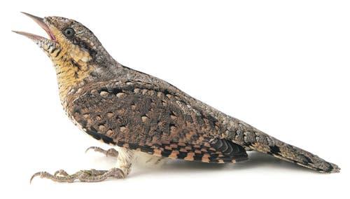 Stark gefährdet: der WendehalsAuch der Wendehals wird als Prioritätsart für die Artenförderung eingestuft. Bild: Getty Images
