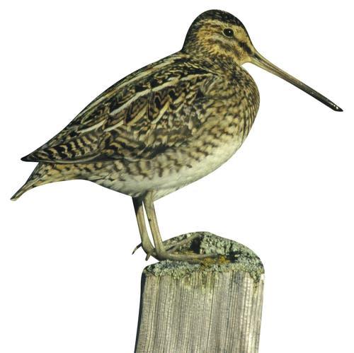 Ausgestorben: die BekassineIm Mittelland war der Vogel mit dem langen Schnabel einst häufig, heute ist er gar nicht mehr vorhanden. Bild: Getty Images