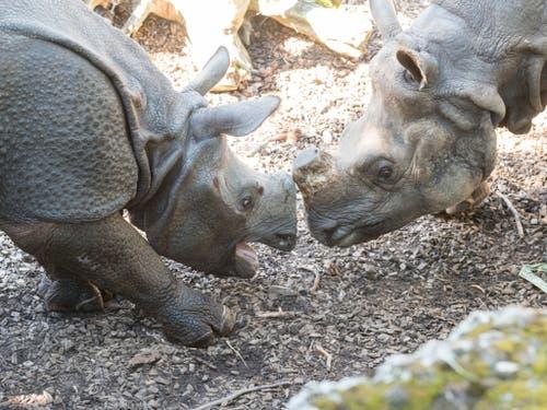 Die zweijährige Shakti und die 26-jährige Quetta lernen sich geräuschvoll kennen. (Bild: Keystone/Zoo Basel (Torben Weber))