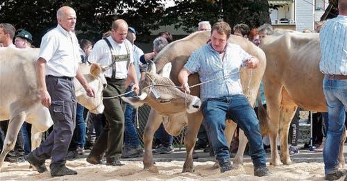 Nicht immer sind die kräftigen Kühe leicht zu bändigen. Bilder: Ulrike Huber