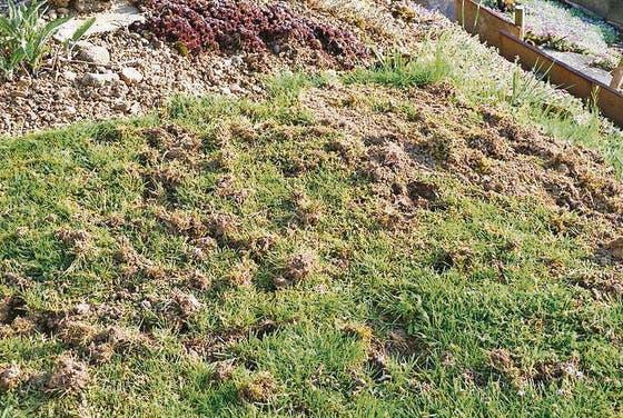 Manchmal Gräbt Er Auch Rasen Um Stgaller Tagblatt