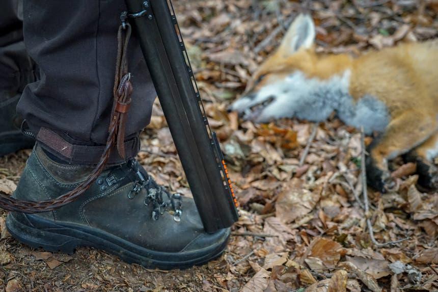 Füchse sind oft krank und müssen geschossen werden. (Bild: Sandro Büchler)